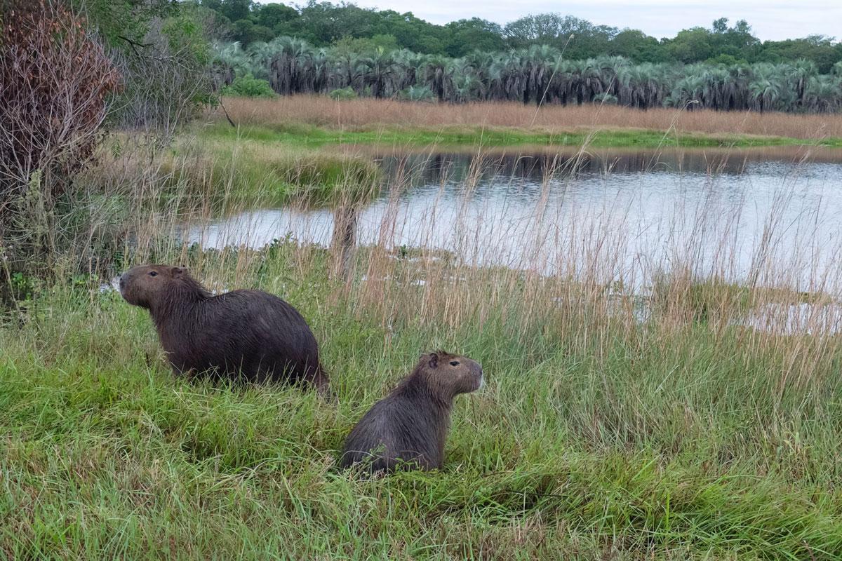 Parque nacional Mburucuyá carpincho laguna