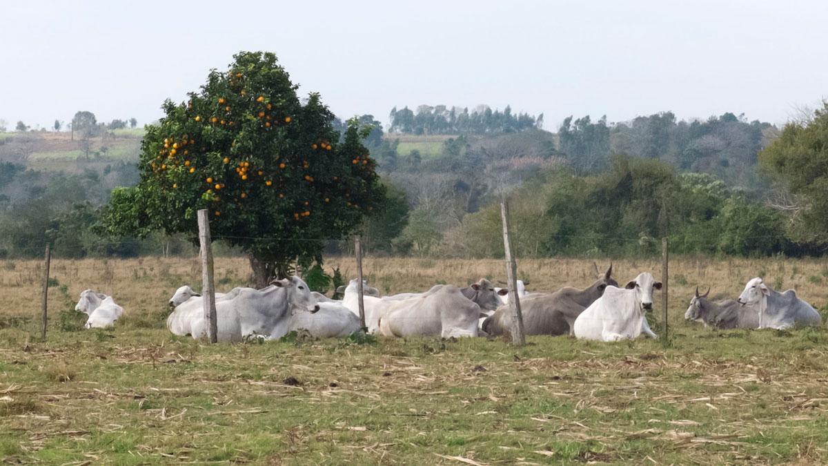 Paraguay Ybytyruzú campo zebu mandarina