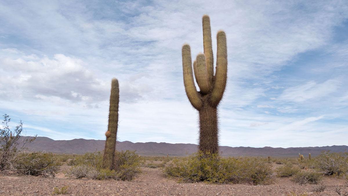 Parc National Los Cardones haut cactus