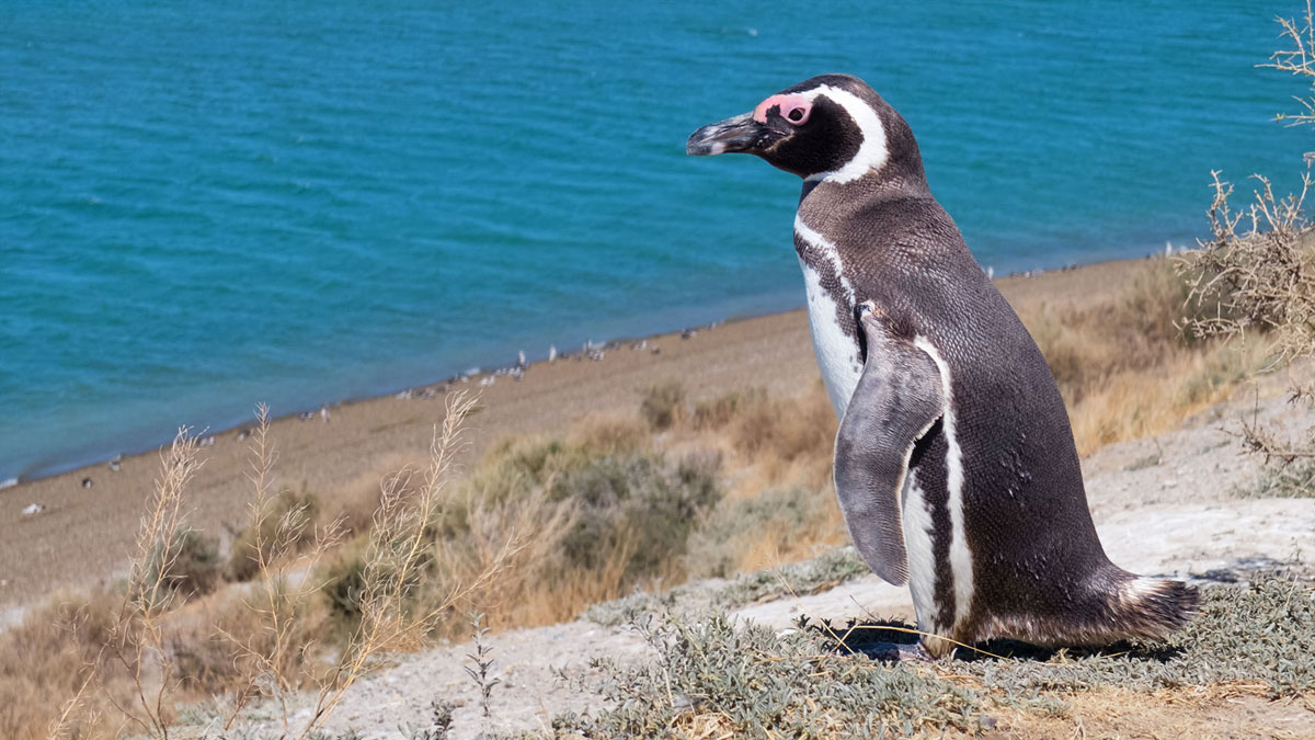 Peninsula Valdès Patagonie Manchot de Magellan