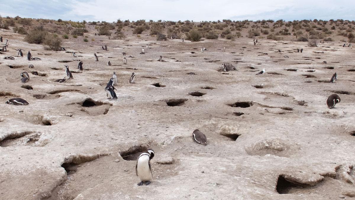 Argentine Patagonie Cabo Dos Bahias Colonie Pingouins Manchot de Magellan