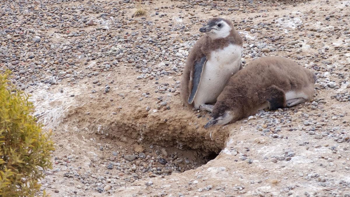 Argentine Patagonie Cabo Dos Bahias Colonie Pingouins Manchot de Magellan terrier