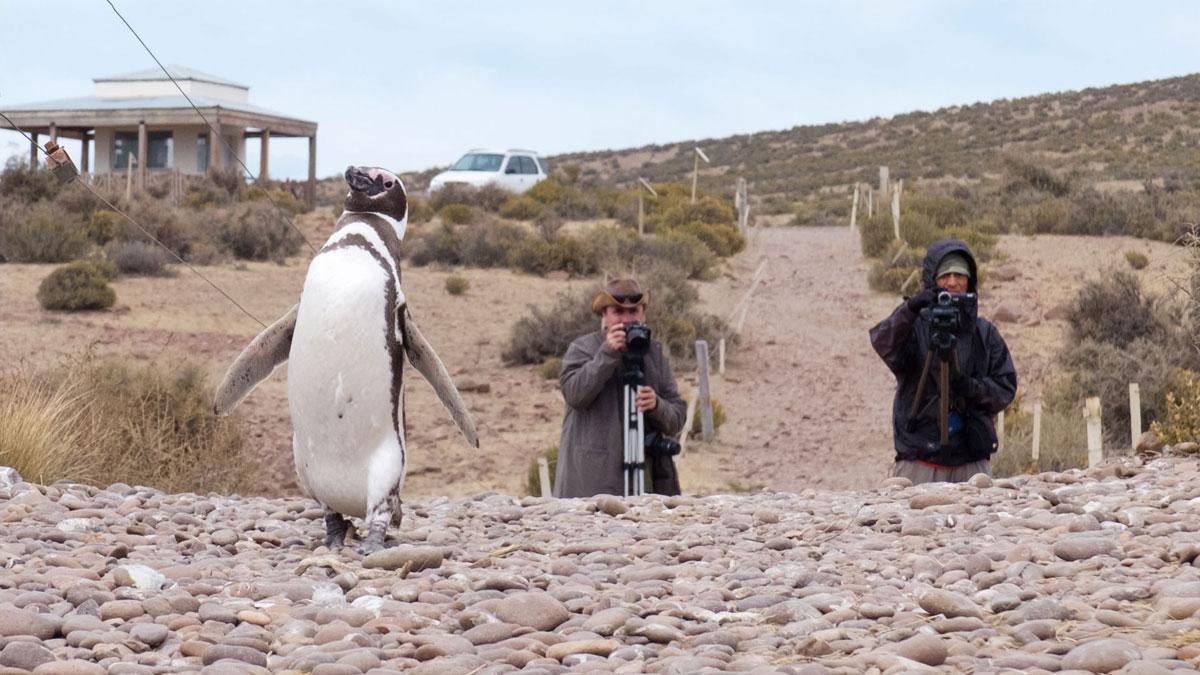 Argentine Patagonie Cabo Dos Bahias Colonie Pingouins Manchot de Magellan photographes