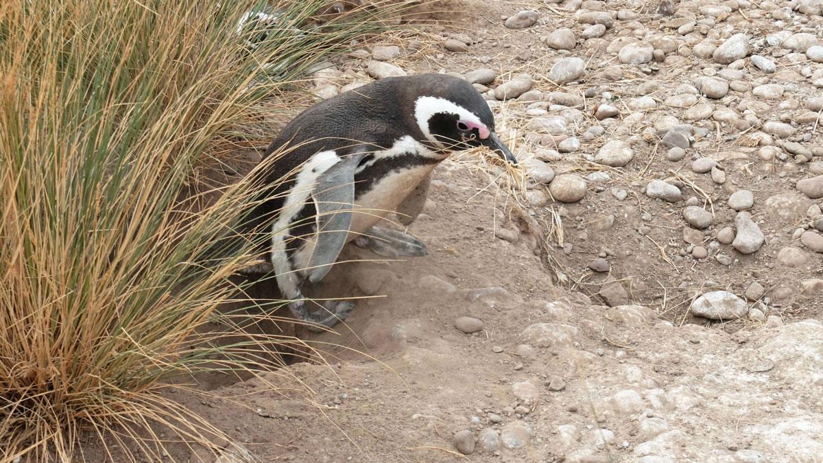 Argentine Patagonie Cabo Dos Bahias Colonie Pingouins Manchot de Magellan construction maison