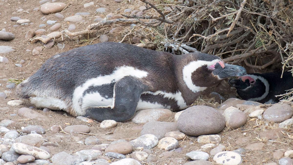 Argentine Patagonie Cabo Dos Bahias Colonie Pingouins Manchot de Magellan repos