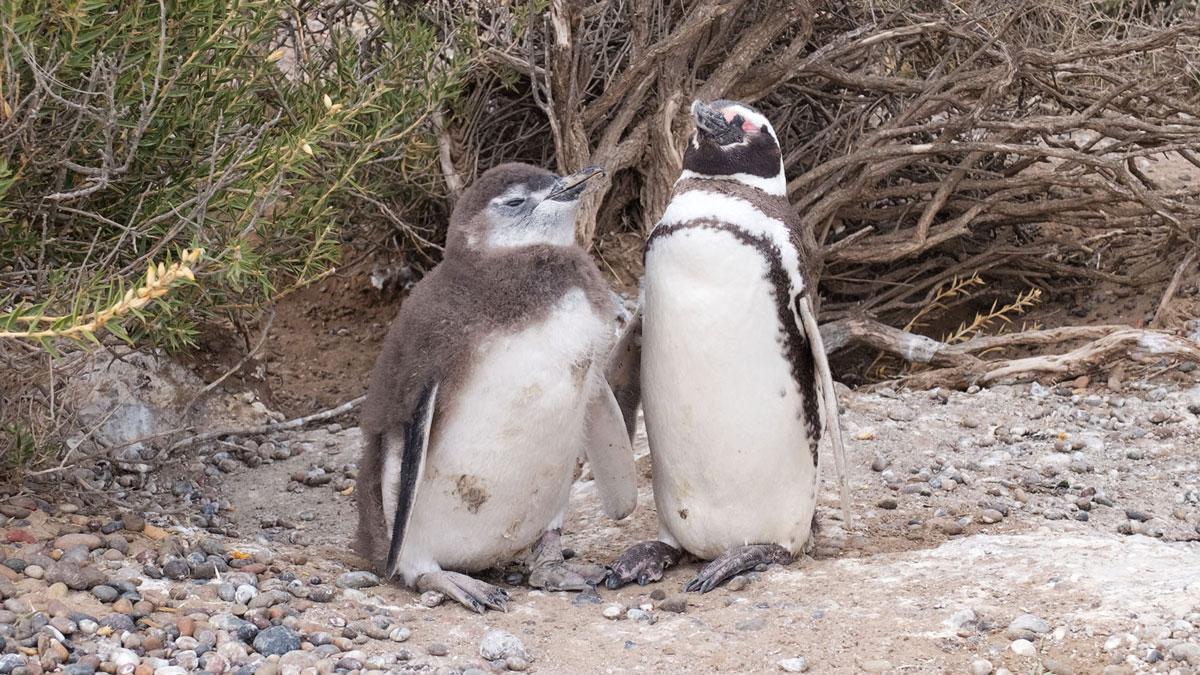 Argentine Patagonie Cabo Dos Bahias Colonie Pingouins Manchot de Magellan Père et fils