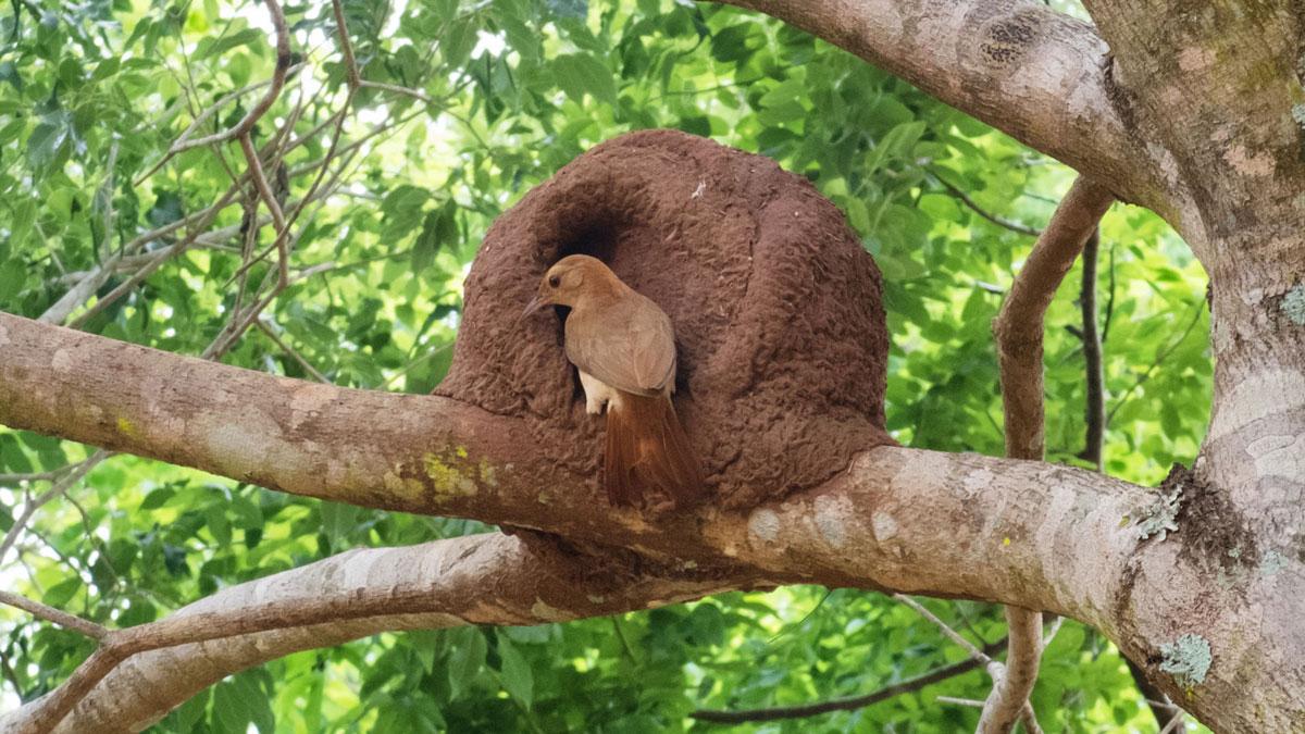 Paraguay Amambay oiseau nid hornero