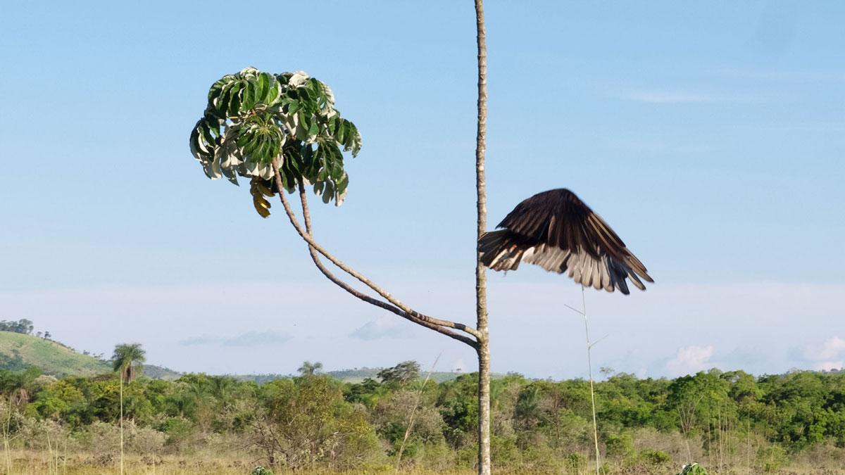 Paraguay Amambay oiseau urubu à tête jaune