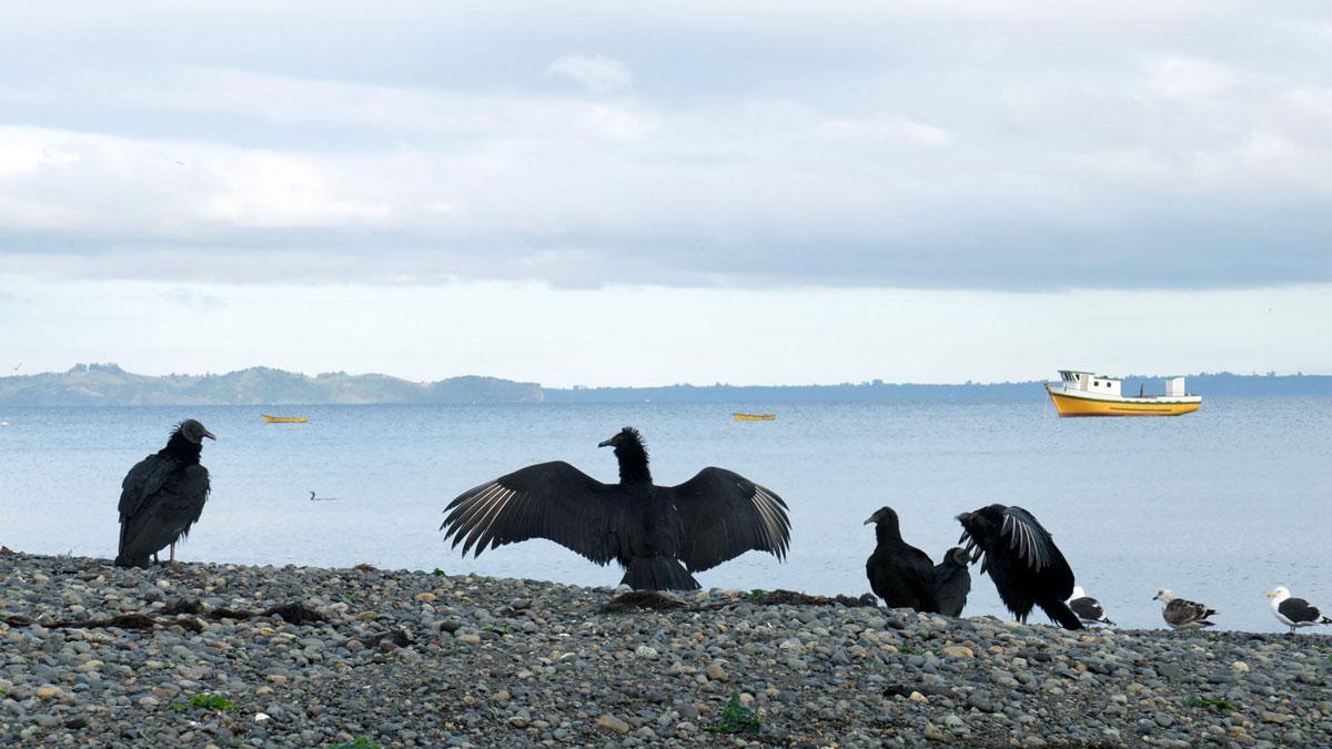 Chiloé oiseau Urubu noir